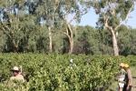 Vineyard_2
